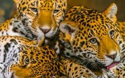 Jaguars royalty free stock images