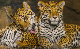 Jaguars Stock Images