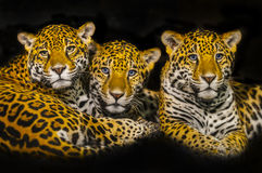 Jaguars Royalty Free Stock Photos