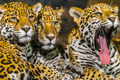 Jaguars Royalty Free Stock Photo
