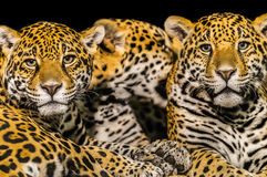 Jaguars Royalty Free Stock Image