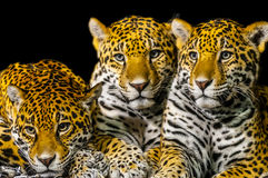 Jaguars Royalty Free Stock Images