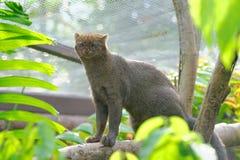 Jaguarundi, μια μικρή άγρια γάτα Στοκ Εικόνες