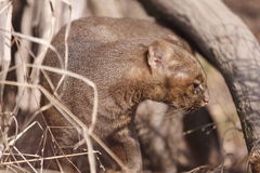 Jaguarundi Royalty Free Stock Photos