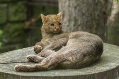 Jaguarundi Immagini Stock Libere da Diritti