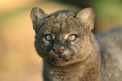 Jaguarundi. The detail of gazing jaguarundi Royalty Free Stock Image