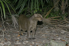 Jaguarundi, Herpailurus yaguarondi, Stock Images