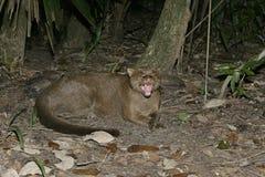 Jaguarundi, Herpailurus yaguarondi, Stock Photo