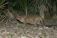 Jaguarundi, Herpailurus yaguarondi, Royalty Free Stock Photo