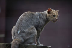 Jaguarundi (Puma yagouaroundi) Stock Image