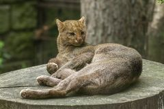 Jaguarundi Royalty Free Stock Images