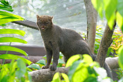 Jaguarundi, a small wild cat Royalty Free Stock Photo
