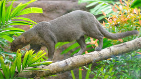 Jaguarundi, a small wild cat, on a branch Stock Photos