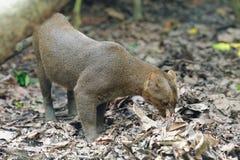 Jaguarundi, um gato selvagem pequeno imagem de stock