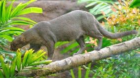 Jaguarundi, um gato selvagem pequeno, em um ramo Fotos de Stock