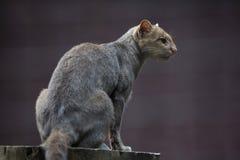 Jaguarundi (Puma yagouaroundi) Royalty Free Stock Images