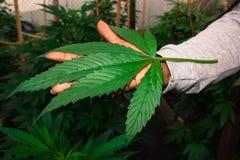 Jah Pracuje Medyczne marihuan ro?liny fotografia stock