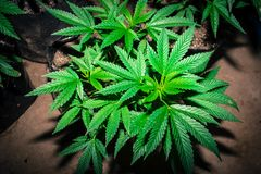 Jah Pracuje Medyczne marihuan ro?liny zdjęcie stock