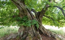 800 Jahre alte Limettenbaum Stockbild