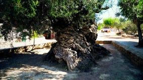 3000 Jahre alte Olivenbaum stock footage