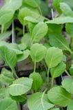 Jahreszeit der Gartensämlinge im Frühjahr, junge Sprösslinge der Brokkolikohl-Gemüseanlage lizenzfreies stockbild