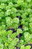 Jahreszeit der Gartensämlinge im Frühjahr, junge Sprösslinge des aromatischen Krauts der Petersilie stockbild