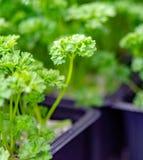 Jahreszeit der Gartensämlinge im Frühjahr, junge Sprösslinge des aromatischen Krauts der Petersilie lizenzfreie stockbilder