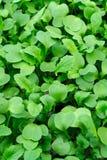 Jahreszeit der Gartensämlinge im Frühjahr, junge Sprösslinge der Rettichgemüseanlage lizenzfreie stockfotos