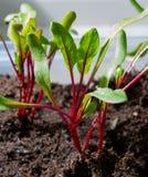 Jahreszeit der Gartensämlinge im Frühjahr, junge Sprösslinge von rote Rote-Bete-Wurzeln Gemüseanlage stockbilder