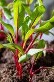 Jahreszeit der Gartensämlinge im Frühjahr, junge Sprösslinge von rote Rote-Bete-Wurzeln Gemüseanlage stockfoto