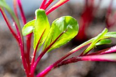 Jahreszeit der Gartensämlinge im Frühjahr, junge Sprösslinge von rote Rote-Bete-Wurzeln Gemüseanlage stockfotografie