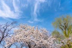 Jahreszeit der Kirschblüte im Frühjahr in Tokyo, Japan lizenzfreie stockfotografie