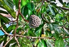 Jahreszeit des Cherimoyabaums im Frühjahr lizenzfreies stockbild