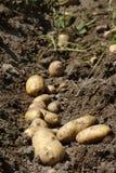 Jahreszeit von Kartoffeln Stockbilder