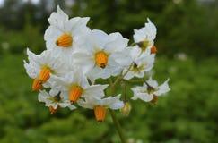 Jahreszeitbotanikkartoffelblumenblattblumenfloraschönheits-Feldes der Blumenkartoffelnaturfrühlingsgelbgartenknospe orange blühen Stockfotografie