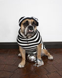 Jail Bird Bulldog. An English Bulldog dressed up in his jail outfit - complete with ball and chain stock photo