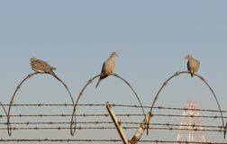 Jail Birds. Three morning doves perch on a coiled stretch of razor wire stock photo