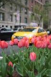 Jaillissez à New York City avec le taxi jaune et les tulipes rouges sur l'avenue de parc Photos stock