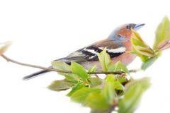 Jaillissez sous la forme de plumage lumineux des oiseaux (le pinson masculin) photos libres de droits