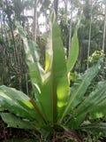 Jaint bananowa roślina Zdjęcie Royalty Free