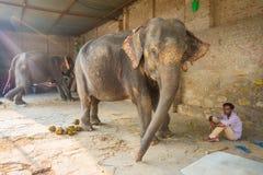 JAIPUR, ÍNDIA 20 DE SETEMBRO DE 2017: O homem não identificado está com os dois elefantes enormes, com as correntes em seus pés e Imagens de Stock Royalty Free