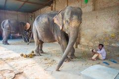 JAIPUR, ÍNDIA 20 DE SETEMBRO DE 2017: O homem não identificado está com os dois elefantes enormes, com as correntes em seus pés e Fotografia de Stock Royalty Free