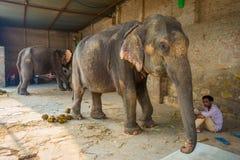 JAIPUR, ÍNDIA 20 DE SETEMBRO DE 2017: O homem não identificado está com os dois elefantes enormes, com as correntes em seus pés e Fotos de Stock Royalty Free