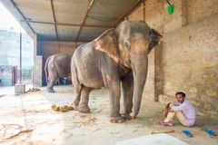 JAIPUR, ÍNDIA 20 DE SETEMBRO DE 2017: O homem não identificado está com os dois elefantes enormes, com as correntes em seus pés e Fotos de Stock