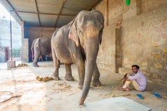 JAIPUR, ÍNDIA 20 DE SETEMBRO DE 2017: O homem não identificado está com os dois elefantes enormes, com as correntes em seus pés e Imagem de Stock
