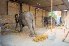 JAIPUR, ÍNDIA 20 DE SETEMBRO DE 2017: O homem não identificado está com os dois elefantes enormes, com as correntes em seus pés e Foto de Stock