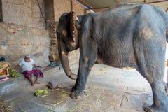 JAIPUR, ÍNDIA 20 DE SETEMBRO DE 2017: O homem não identificado está com um elefante enorme, e as correntes em seus pés em Jaipur Fotos de Stock Royalty Free