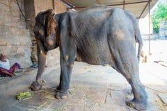 JAIPUR, ÍNDIA 20 DE SETEMBRO DE 2017: O homem não identificado está com um elefante enorme, e as correntes em seus pés em Jaipur Fotografia de Stock