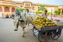 JAIPUR, ΙΝΔΙΑ - 19 ΣΕΠΤΕΜΒΡΊΟΥ 2017: Μη αναγνωρισμένες πωλώντας καρύδες ατόμων στην οδό δίπλα σε μια αγελάδα που περπατά αδιάφορο Στοκ Εικόνες