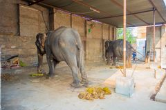 JAIPUR, INDIA- SEPTEMBER 20, 2017: Unidentified man stands with two huge elephants, with chains in their feet in Jaipur Stock Photo